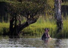 Hipopótamo em Zimbabwe, Zambezi River Hippopotamus imagem de stock royalty free