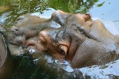 Hipopótamo en agua Foto de archivo libre de regalías