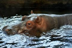 Hipopótamo en agua Imagen de archivo