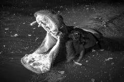 Hipopótamo en agua Imágenes de archivo libres de regalías