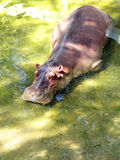 Hipopótamo en crisol Imágenes de archivo libres de regalías