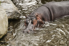 Hipopótamo en Dublin Zoo Fotografía de archivo libre de regalías