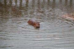 Hipopótamo en el agua Fotos de archivo