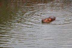 Hipopótamo en el agua Foto de archivo