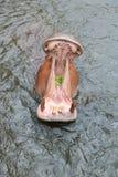 Hipopótamo en el agua Fotos de archivo libres de regalías