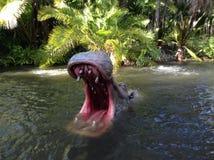 Hipopótamo en el agua imagen de archivo libre de regalías