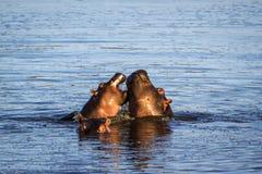 Hipopótamo en el parque nacional de Kruger Fotografía de archivo