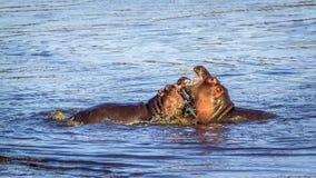 Hipopótamo en el parque nacional de Kruger Imagenes de archivo
