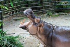 Hipopótamo en el parque zoológico en Malasia Foto de archivo
