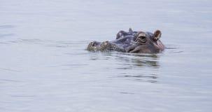 Hipopótamo en el salvaje Fotos de archivo