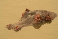 Hipopótamo en la charca de oro. Fotografía de archivo libre de regalías
