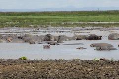 Hipopótamo en la piscina Imágenes de archivo libres de regalías