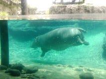 Hipopótamo en los jardines de Busch Imagenes de archivo