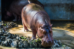 Hipopótamo en parque zoológico Fotos de archivo libres de regalías