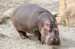 Hipopótamo en tierra Imagen de archivo libre de regalías