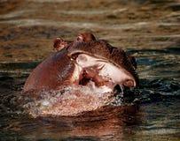 Hipopótamo en un chapoteo Imágenes de archivo libres de regalías