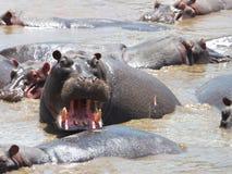 Hipopótamo enojado Imagenes de archivo