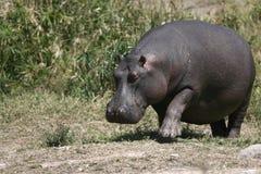 Hipopótamo enorme Fotografia de Stock Royalty Free