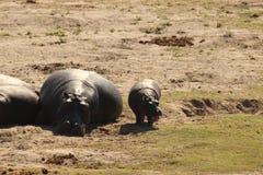 Hipopótamo gordo Fotografia de Stock Royalty Free