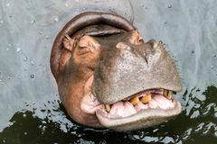 Hipopótamo grande foto de stock royalty free