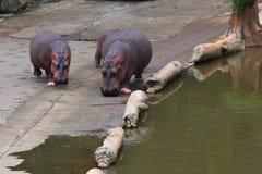 Hipopótamo grande e hipopótamo novo Fotografia de Stock