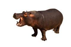 Hipopótamo isolado imagens de stock
