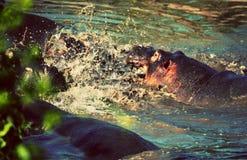 Hipopótamo, luta do hippopotamus no rio. Serengeti, Tanzânia, África Fotografia de Stock