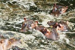 Hipopótamo, Masai Mara Foto de archivo