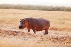 Hipopótamo, Masai Mara Foto de archivo libre de regalías