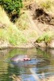 Hipopótamo, Masai Mara Imagen de archivo