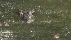 Hipopótamo, Masai Mara metrajes