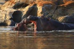 Hipopótamo muito perto do fotógrafo no habitat bonito da natureza fotos de stock royalty free