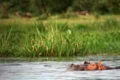 Hipopótamo - Murchison cai NP, Uganda, África Imagem de Stock
