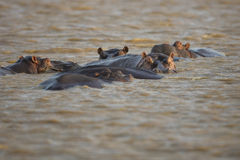 Hipopótamo na água África do Sul Foto de Stock Royalty Free