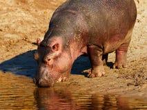 Hipopótamo na margem Fotografia de Stock Royalty Free