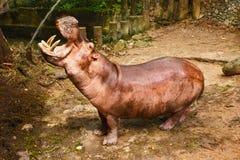 Hipopótamo no close up Imagens de Stock