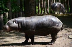 Hipopótamo no JARDIM ZOOLÓGICO fotografia de stock