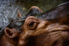 Hipopótamo no jardim zoológico, myanmar imagem de stock