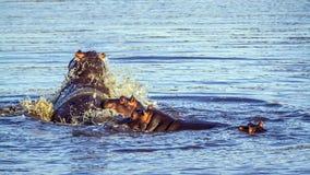 Hipopótamo no parque nacional de Kruger Imagem de Stock