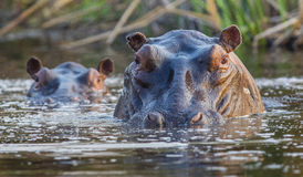 Hipopótamo nos pantanais de Okavango Fotografia de Stock Royalty Free