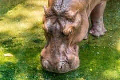 Hipopótamo novo Imagens de Stock Royalty Free