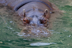 Hipopótamo - o hipopótamo Imagens de Stock Royalty Free