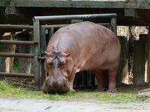Hipopótamo o hipopótamo que come la hierba verde en un parque zoológico con la cabeza abajo Imagen de archivo libre de regalías