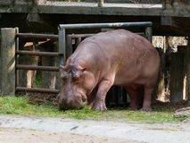 Hipopótamo o hipopótamo que come la hierba verde en un parque zoológico con la cabeza abajo Fotos de archivo libres de regalías