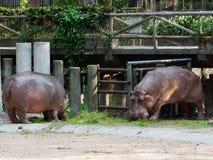 Hipopótamo o hipopótamo que come la hierba verde en un parque zoológico con la cabeza abajo Fotografía de archivo