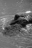 Hipopótamo ocultado Imagen de archivo libre de regalías