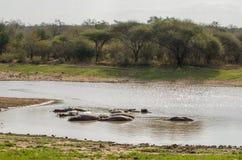 Hipopótamo, parque nacional de Kruger Viñedo famoso de Kanonkop cerca de las montañas pintorescas en el resorte Imagenes de archivo