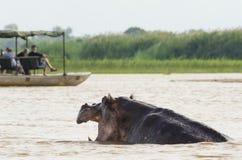 Hipopótamo perturbado por los turistas Fotos de archivo libres de regalías