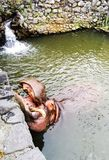 Hipopótamo que alimenta com cenouras Fotos de Stock Royalty Free