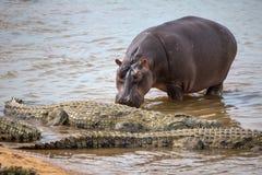 Hipopótamo que anda acima a um grupo de crocodilos Imagens de Stock Royalty Free